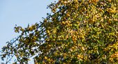 picture of hornet  - Fully loaded tree with yellow Crab Apples Golden Hornet against a blue sky - JPG