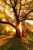 Yellow Oak Tree And Natural Sun Beams