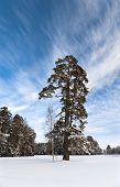 Pine And Birch Trees In Winter