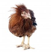 pic of castration  - brown capon in front of white background