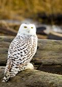foto of snowy owl  - Snowy Owl sitting on a log, with Fall color Background
