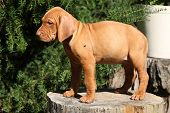 Puppy Of Hungarian Short-haired Pointing Dog (vizsla)
