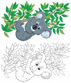 stock photo of koalas  - koala bear hanging on an eucalyptus branch - JPG