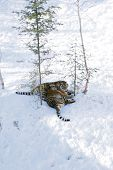 Two siberian tigers playing in snow together