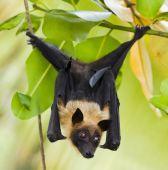 Fruit Bat Hanging In A Tree
