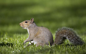 stock photo of lightning bugs  - lightning bug that is catching a ride with a squirrel  - JPG