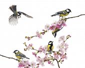 picture of tit  - group of great tit perched on a flowering branch - JPG