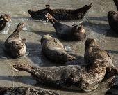 La Jolla's Sea Lions