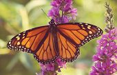 Monarch Butterfly on some purple flowers done with a soft instagram like filter