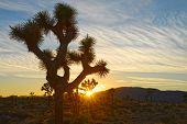 Joshua Tree Silhouette at Sunset