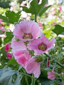 pic of hollyhock  - Beautiful pink Hollyhock flower in the garden - JPG