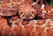 Red Diamond Rattlesnake.