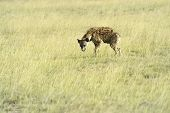 picture of hyenas  - African hyenas in Amboseli National Park  - JPG