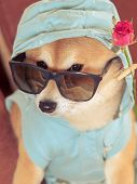 Vintage Look From Shiba Inu Dog With Jacket, Hood, Glasses And Rose