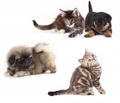 stock photo of coon dog  - puppy  Rottweiler and kitten breeds Maine Coon - JPG