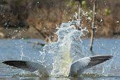 Caspian Tern Wings With A Pretty Impressive Splash