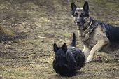stock photo of scottie dog  - shepherd dog tack sharp in background in alert position and scottish terrier blurrred in foreground outdoor shot - JPG