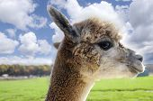 foto of alpaca  - Profile of a white alpaca against a blue sky - JPG
