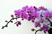 Orchids On The White Background
