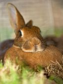 stock photo of thumper  - portrait of comfortable resting belgium hare in brown - JPG