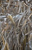 image of biogas  - Colorful and crisp image of dry indian corn field - JPG
