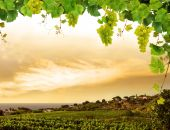 picture of grape-vine  - Grapes and grapevine branches with seaside vineyard in sunset - JPG