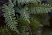 Resurrection Fern - Polypodium polypodioides
