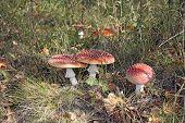 Amanita Mushrooms Growing In The Grass