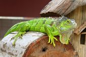 stock photo of terrarium  - Green iguana in terrarium in the zoo - JPG