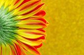 Close Up Flower Gerbera On Yellow Bokeh Background