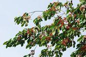 Wild Sweet Cherry (prunus Avium) Branch