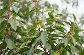 Australian Sweet Sandpaper Fig Ficus Opposita