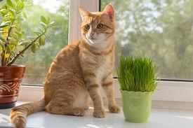 stock photo of catnip  - Cat sniffing and munching a vase of fresh catnip - JPG