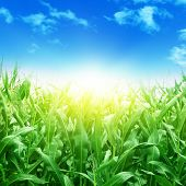 Green corn field,blue sky and sunlight.
