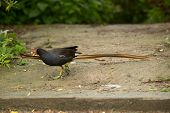 Moorhen At The Pond