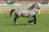 picture of thoroughbred  - Warmblood thoroughbred grey racehorse running with trainer - JPG