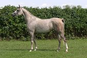foto of thoroughbred  - Warmblood thoroughbred grey racehorse standing in front of a green background - JPG