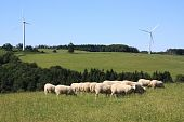 Sheep and Wind Turbines