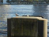 Gull common name glaucous winged gull scientific name larus glaucesens