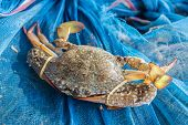 image of crab  - Crab or blue crab blue manna crab sand crab fishing of Thailand - JPG