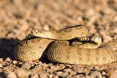 Coiled up rattlesnake