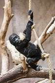 Young Western Lowland Gorilla Playing With Rope