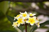 White Flower Of Frangipani Or Plumeria With Leaves