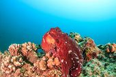 Large Red Octopus On A Coral Reef