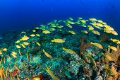 stock photo of shoal fish  - A shoal of Bluestriped Snapper on a tropical coral reef - JPG