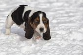 picture of basset hound  - Basset hound puppy running toward the camera.  Shallow depth of field