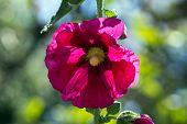 pic of hollyhock  - A beautiful blooming hollyhock Alcea rosea in the park - JPG