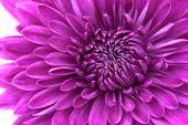 Closeup Of Violet Chrysanthemum Flower Background