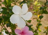 picture of rose sharon  - close up white hibiscus blossom flower on tree in natural environment - JPG
