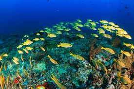 stock photo of red snapper  - A shoal of Bluestriped Snapper on a tropical coral reef - JPG